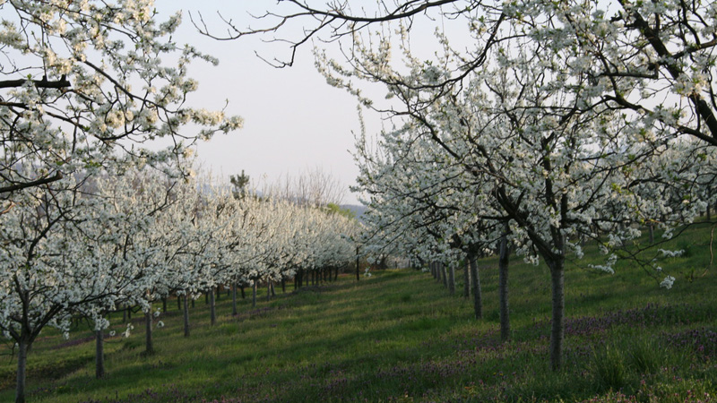 fruit grove in Spring, Serbia, Gorda Rakia