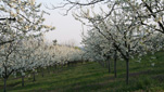 plums fruit grove in Spring