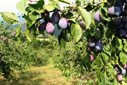 Big plum fruits in orchard